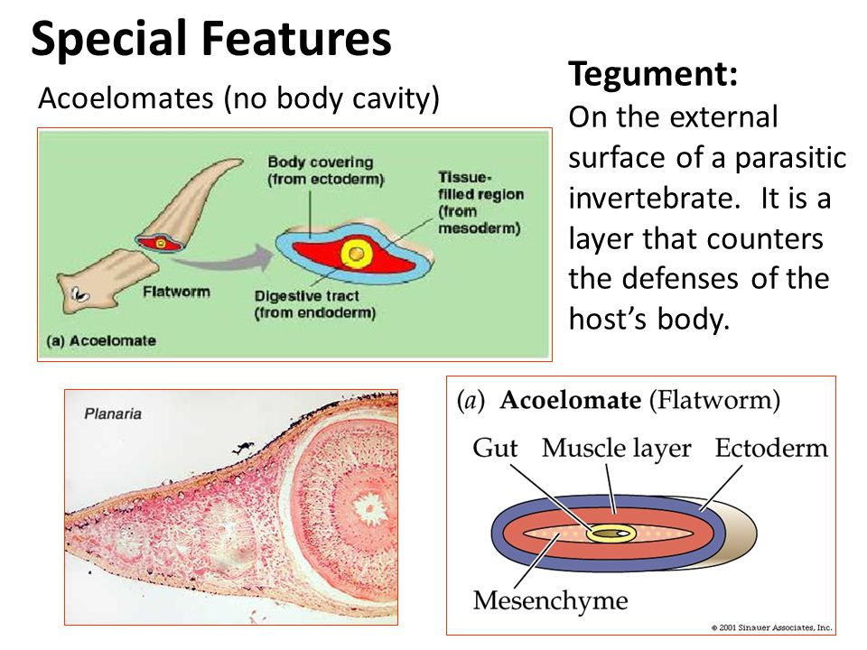 Special Features Tegument: On the external surface of a parasitic invertebrate. It is a layer that counters the defenses of the host's body.