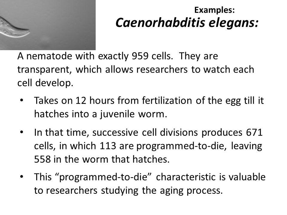 Caenorhabditis elegans: