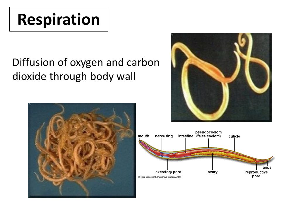 Respiration Diffusion of oxygen and carbon dioxide through body wall.
