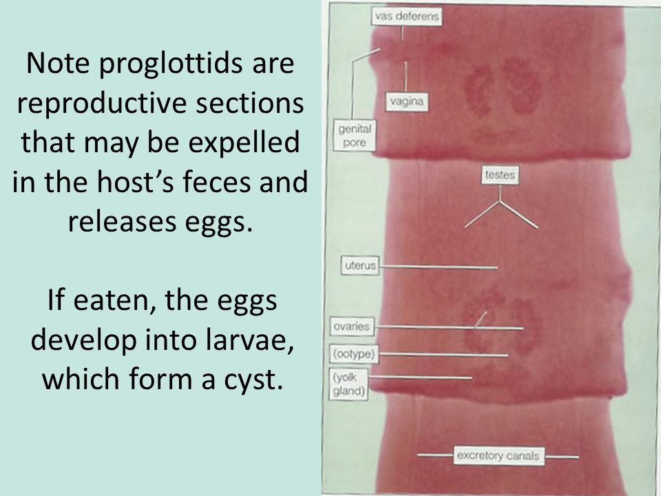 If eaten, the eggs develop into larvae, which form a cyst.