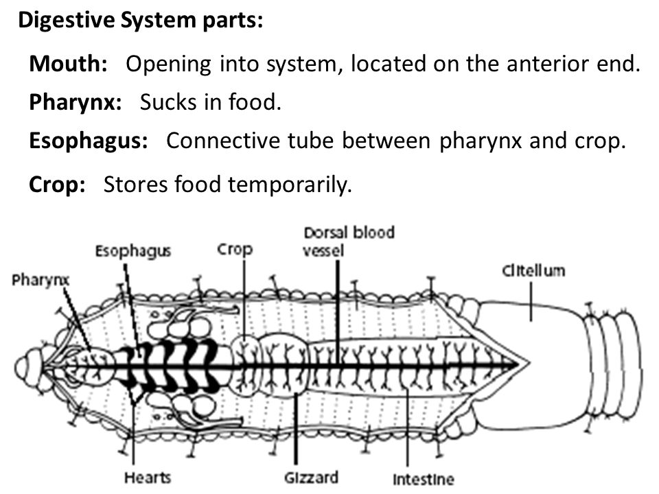 Digestive System parts: