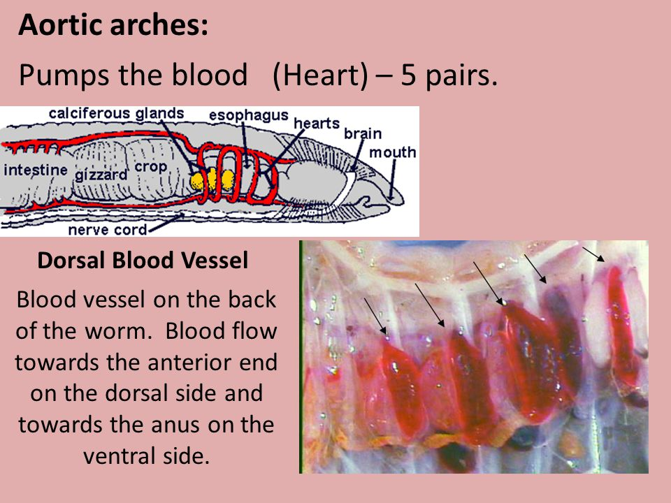 Pumps the blood (Heart) – 5 pairs.