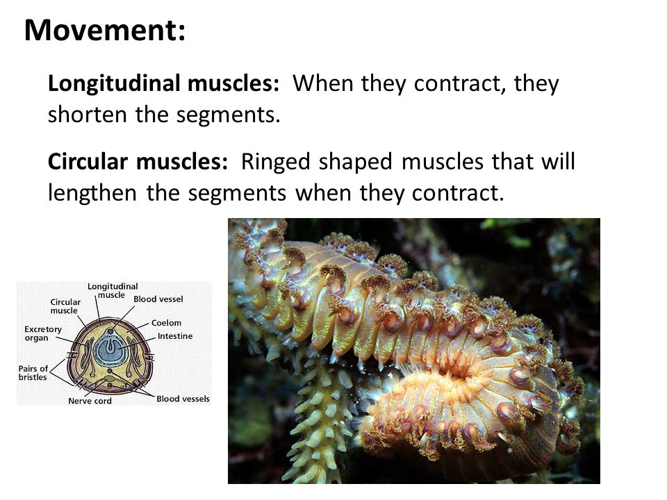 Movement: Longitudinal muscles: When they contract, they shorten the segments.