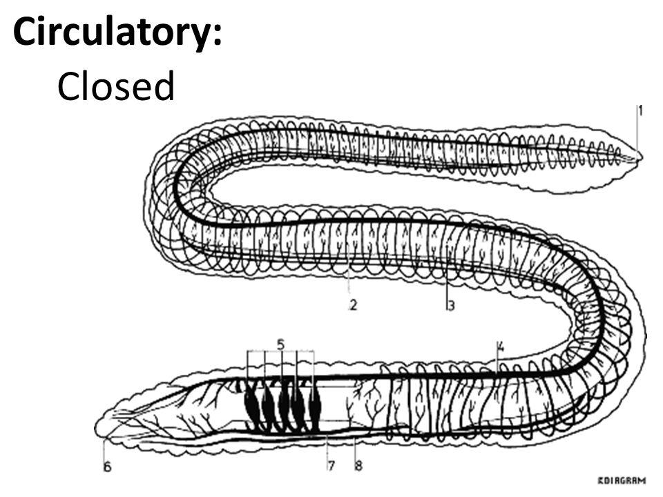 Circulatory: Closed