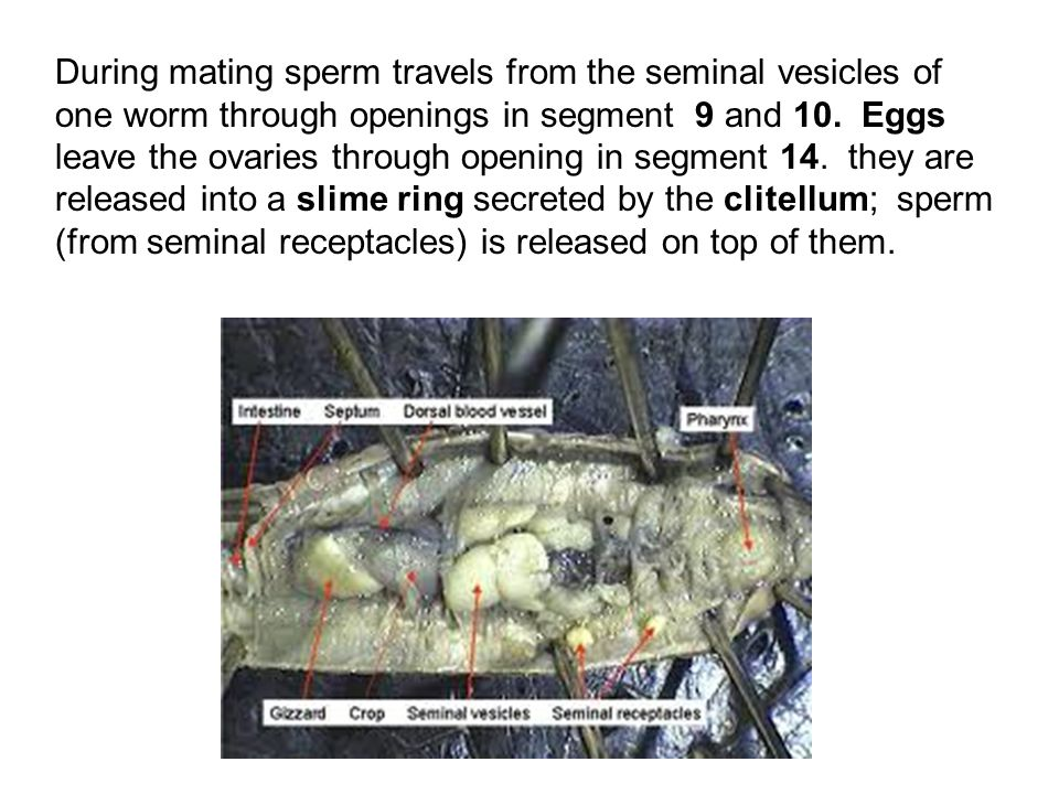 During mating sperm travels from the seminal vesicles of one worm through openings in segment 9 and 10.