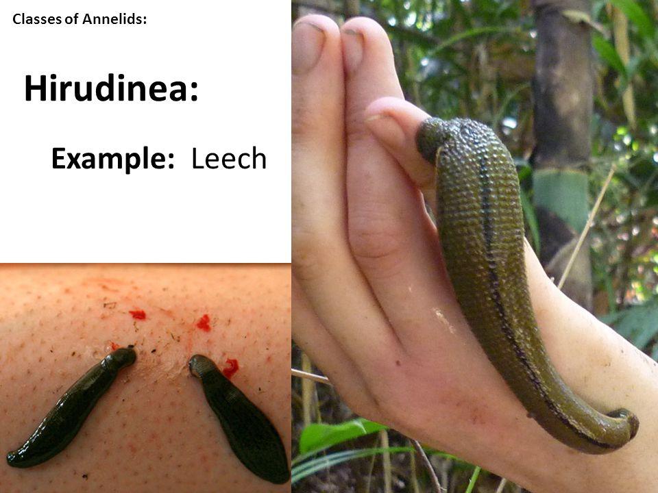 Classes of Annelids: Hirudinea: Example: Leech