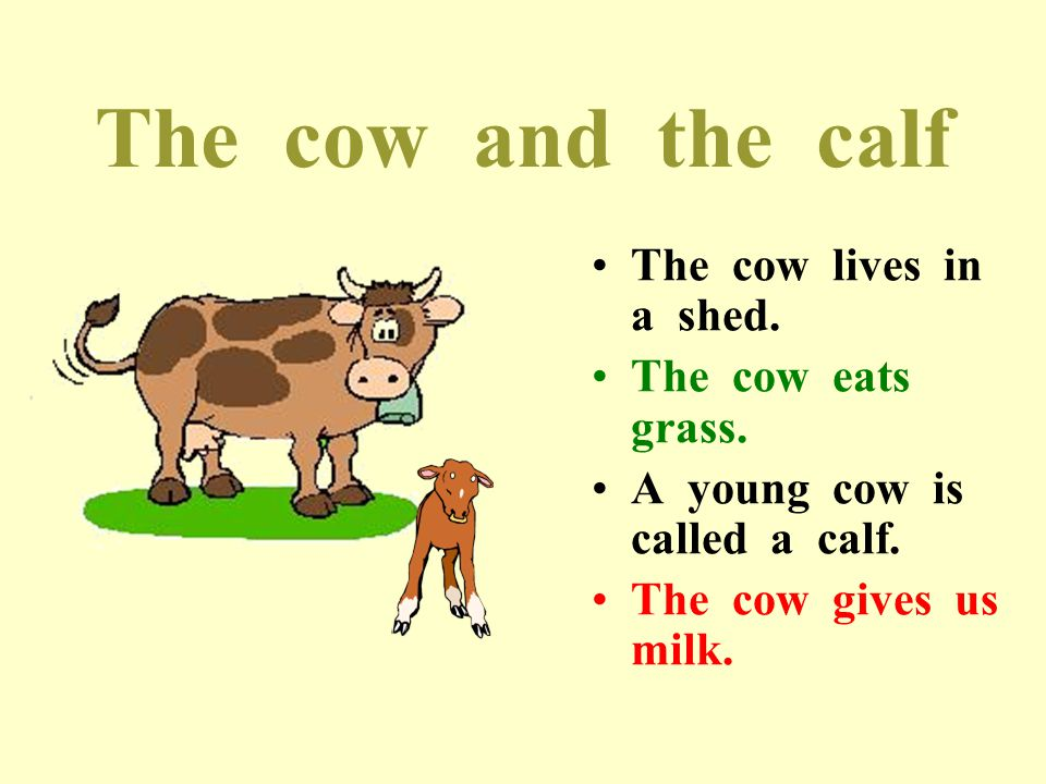 The cow and the calf The cow lives in a shed. The cow eats grass.