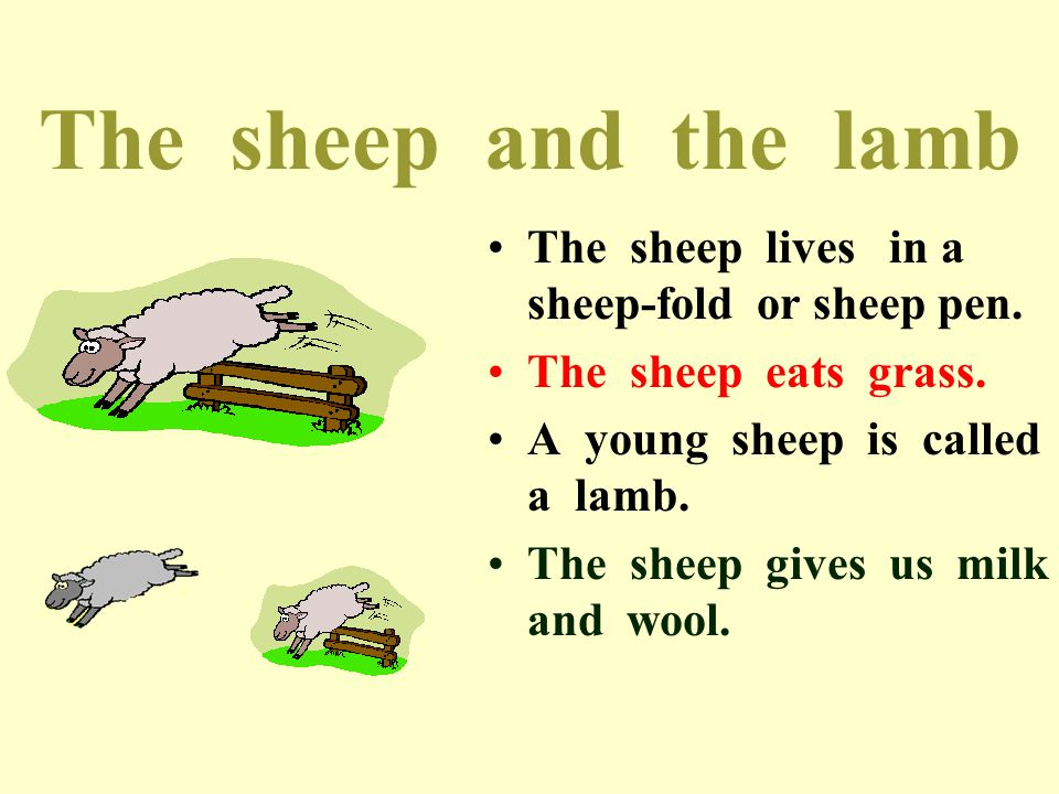The sheep and the lamb The sheep lives in a sheep-fold or sheep pen.