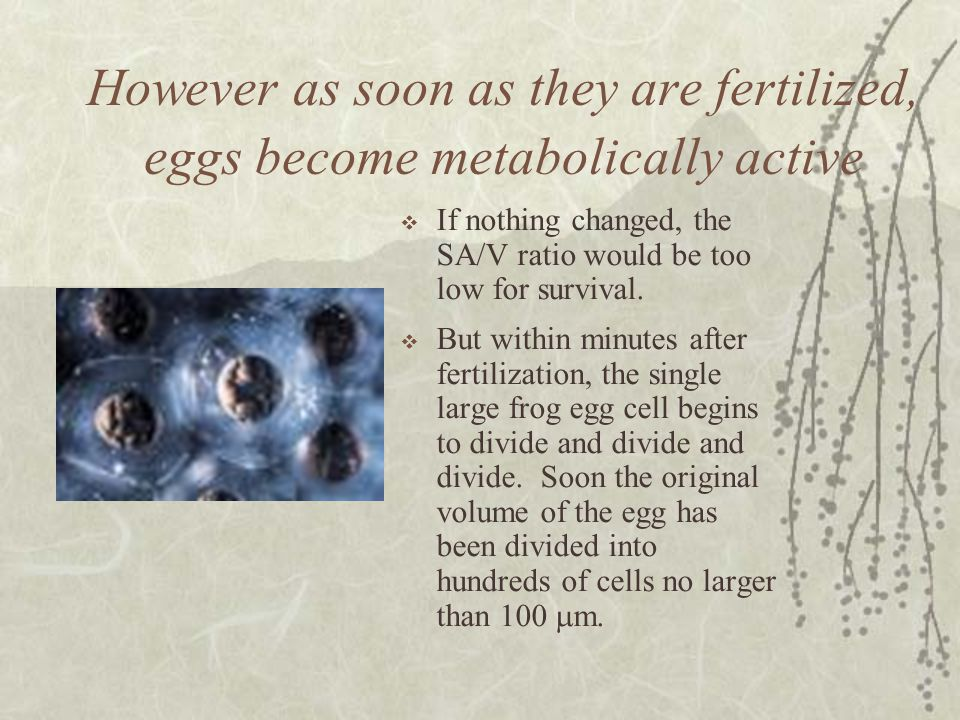 However as soon as they are fertilized, eggs become metabolically active