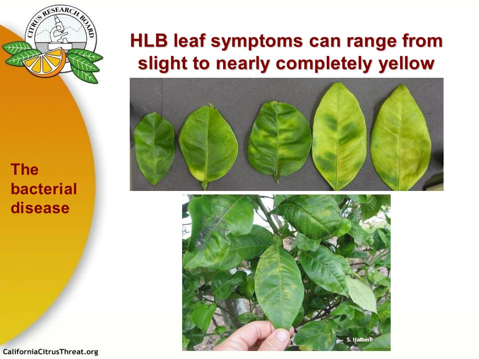 HLB leaf symptoms can range from slight to nearly completely yellow
