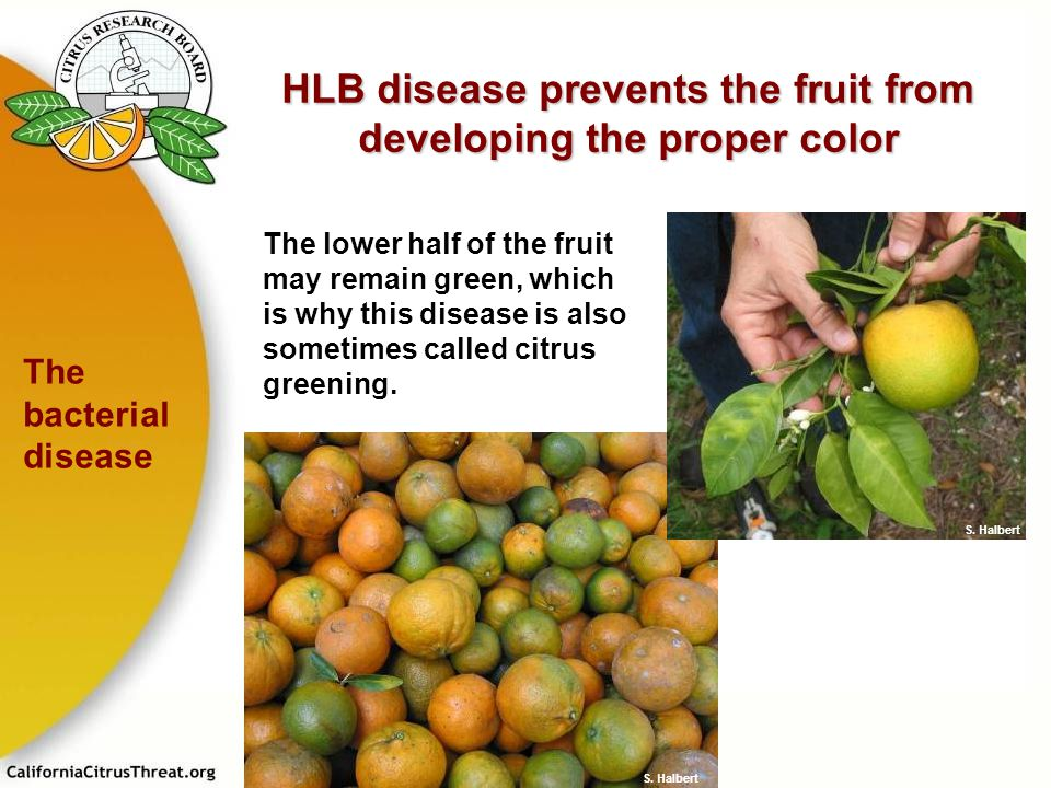 HLB disease prevents the fruit from developing the proper color