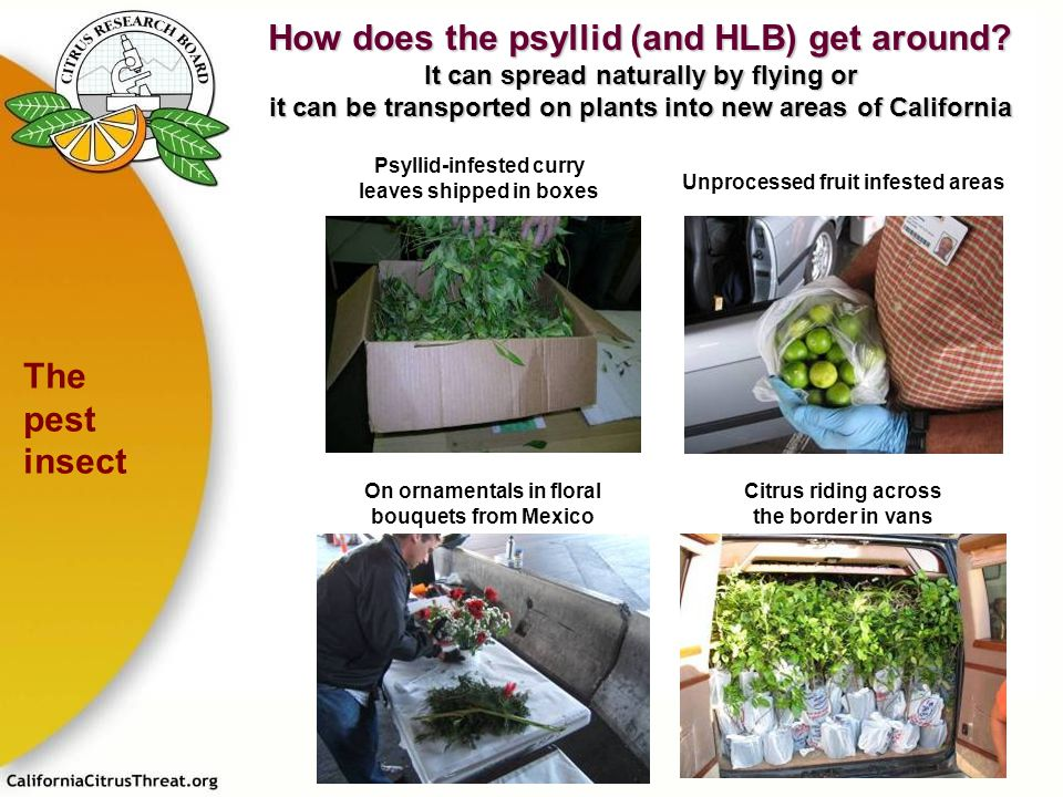 How does the psyllid (and HLB) get around
