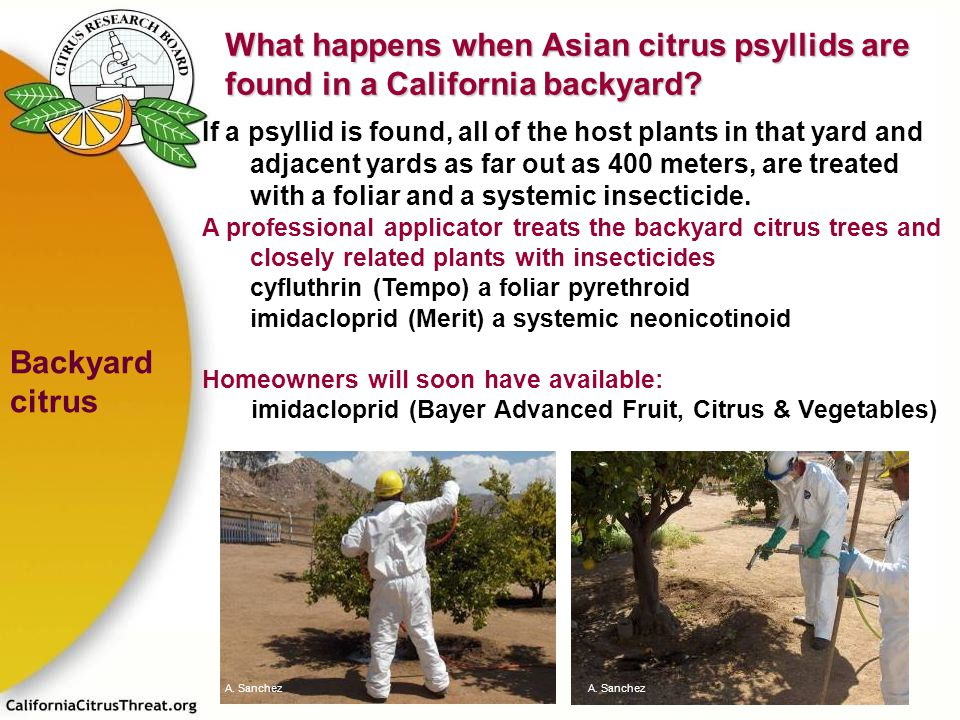 What happens when Asian citrus psyllids are found in a California backyard