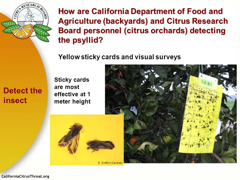 How are California Department of Food and Agriculture (backyards) and Citrus Research Board personnel (citrus orchards) detecting the psyllid
