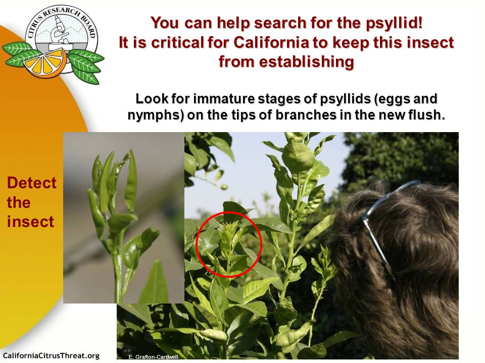 You can help search for the psyllid!