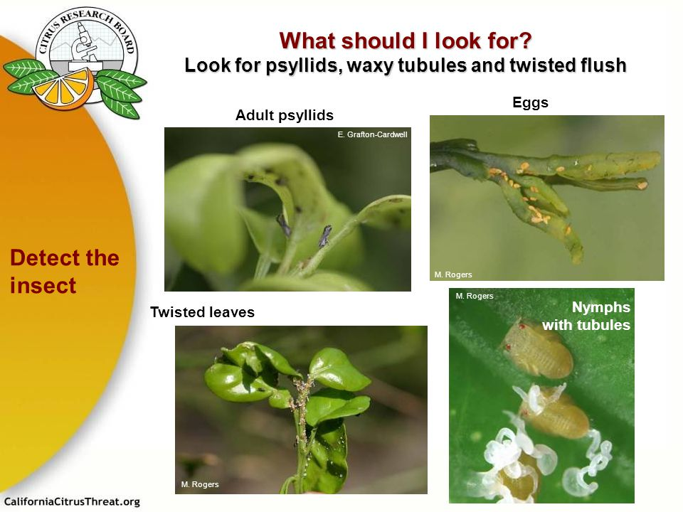 What should I look for Look for psyllids, waxy tubules and twisted flush