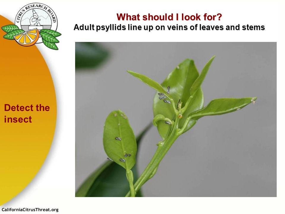 What should I look for Adult psyllids line up on veins of leaves and stems