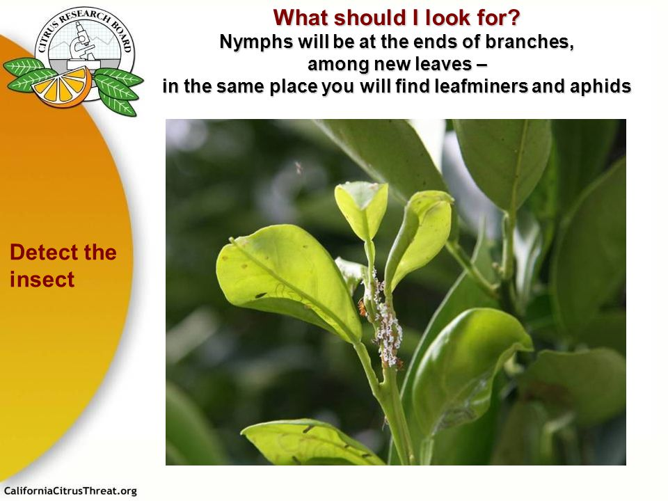 What should I look for Nymphs will be at the ends of branches, among new leaves – in the same place you will find leafminers and aphids