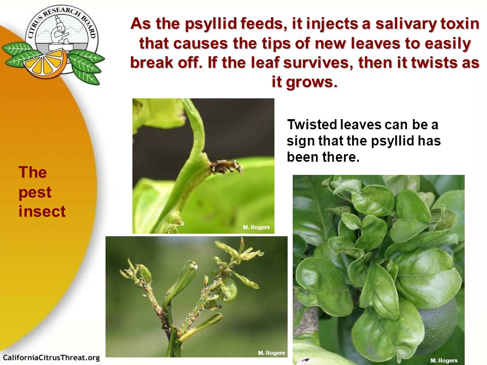As the psyllid feeds, it injects a salivary toxin that causes the tips of new leaves to easily break off. If the leaf survives, then it twists as it grows.