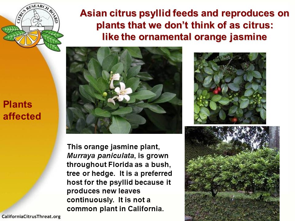 Asian citrus psyllid feeds and reproduces on plants that we don't think of as citrus: like the ornamental orange jasmine