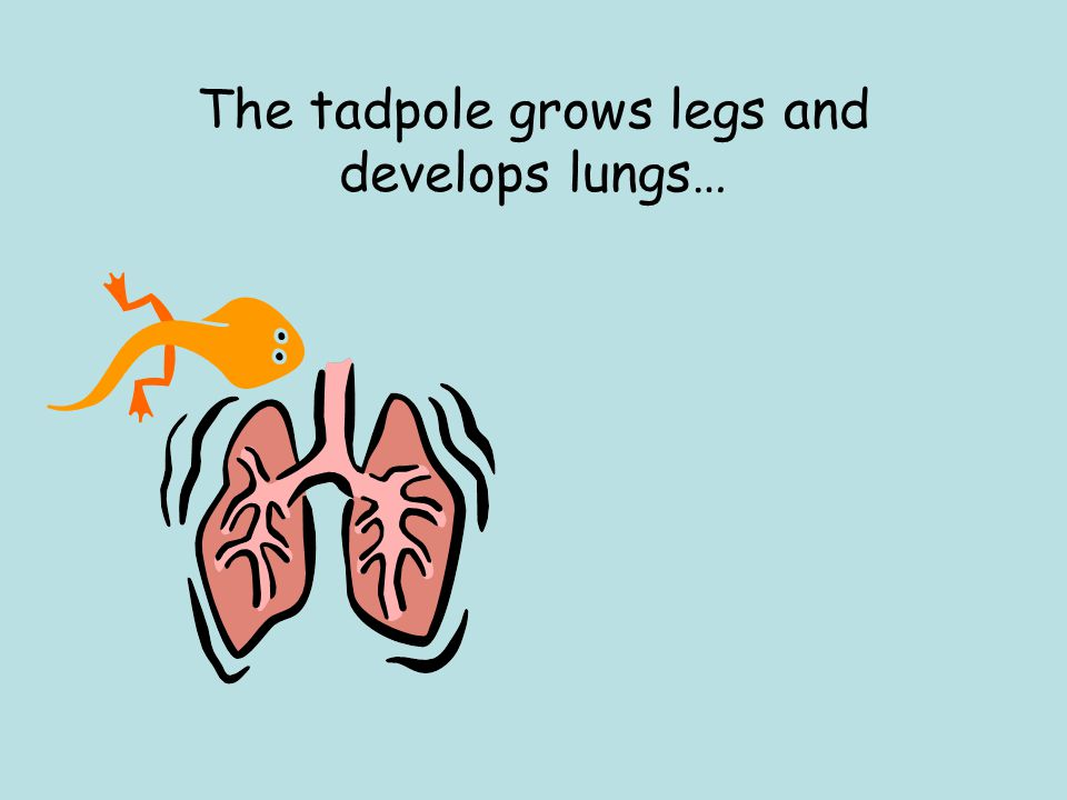 The tadpole grows legs and develops lungs…