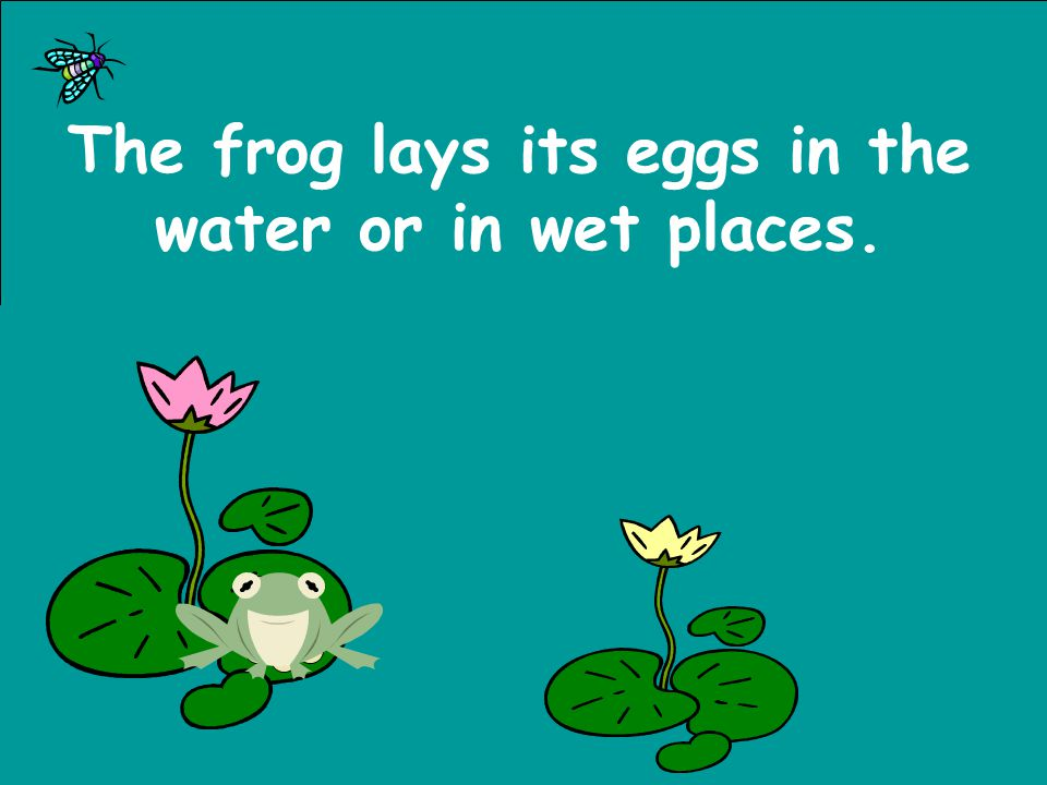 The frog lays its eggs in the water or in wet places.