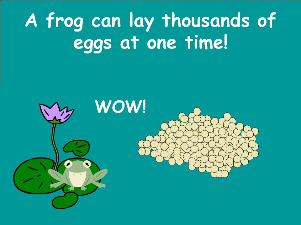 A frog can lay thousands of eggs at one time!