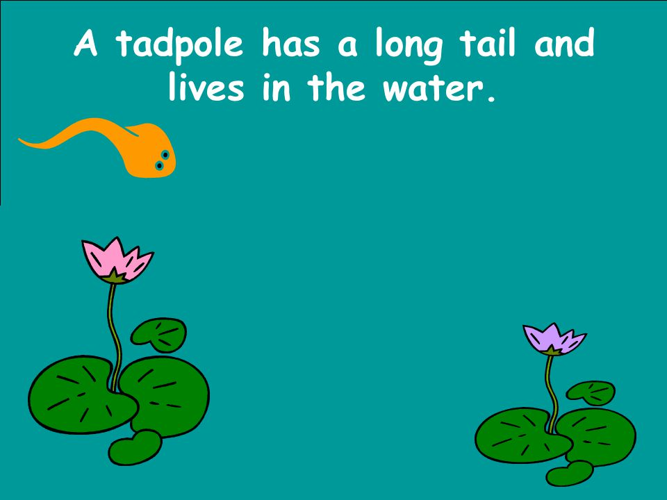 A tadpole has a long tail and lives in the water.