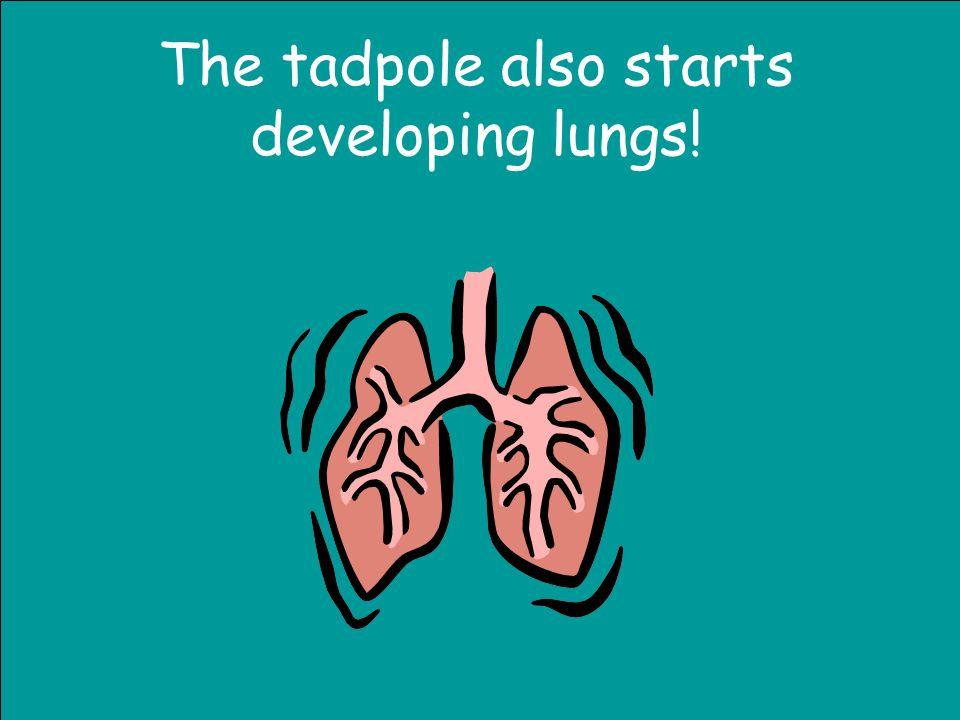 The tadpole also starts developing lungs!