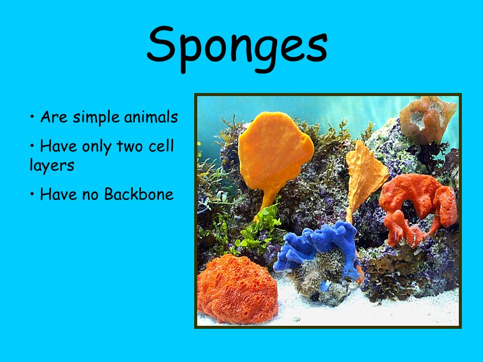 Sponges Are simple animals Have only two cell layers Have no Backbone