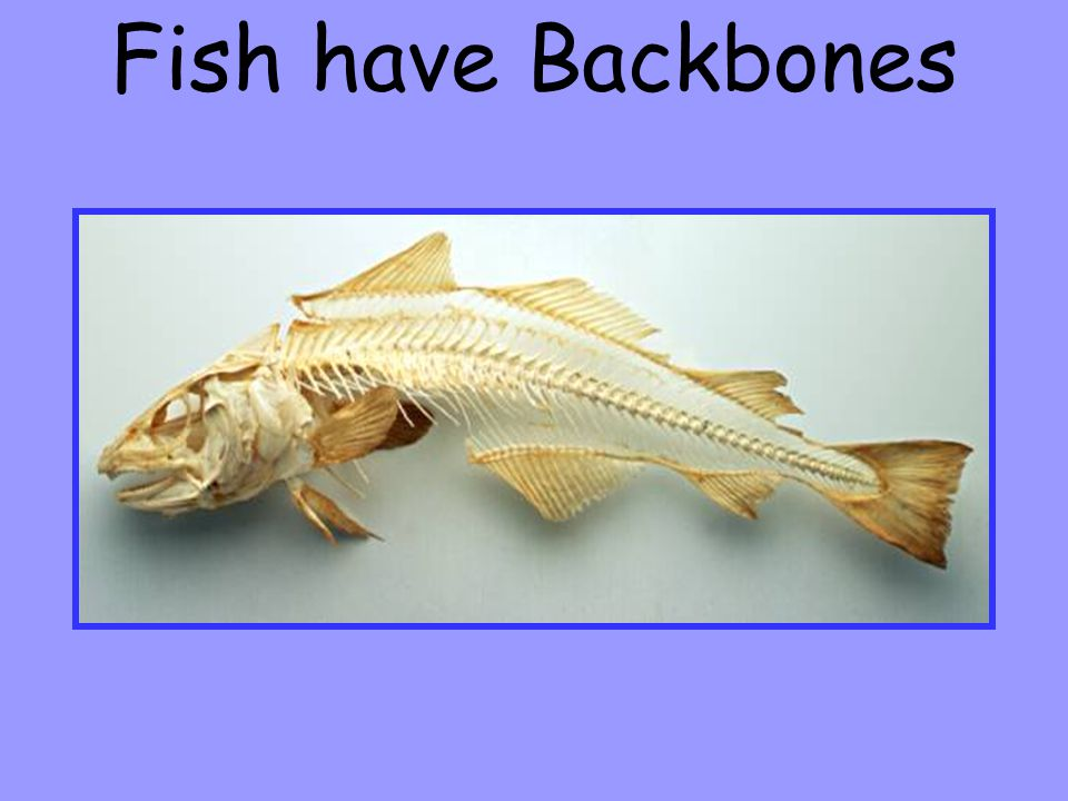 Fish have Backbones