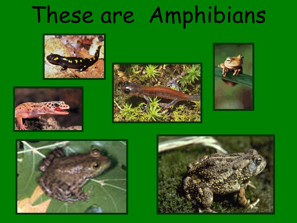 These are Amphibians