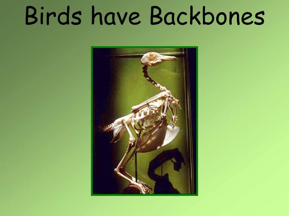 Birds have Backbones
