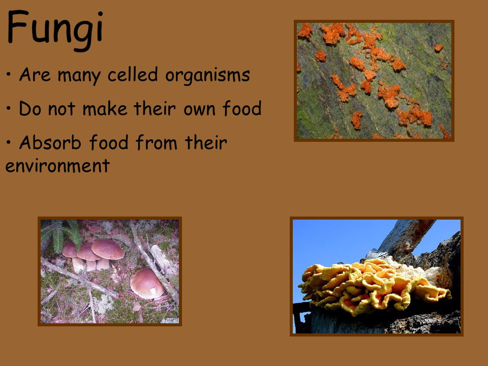 Fungi Are many celled organisms Do not make their own food