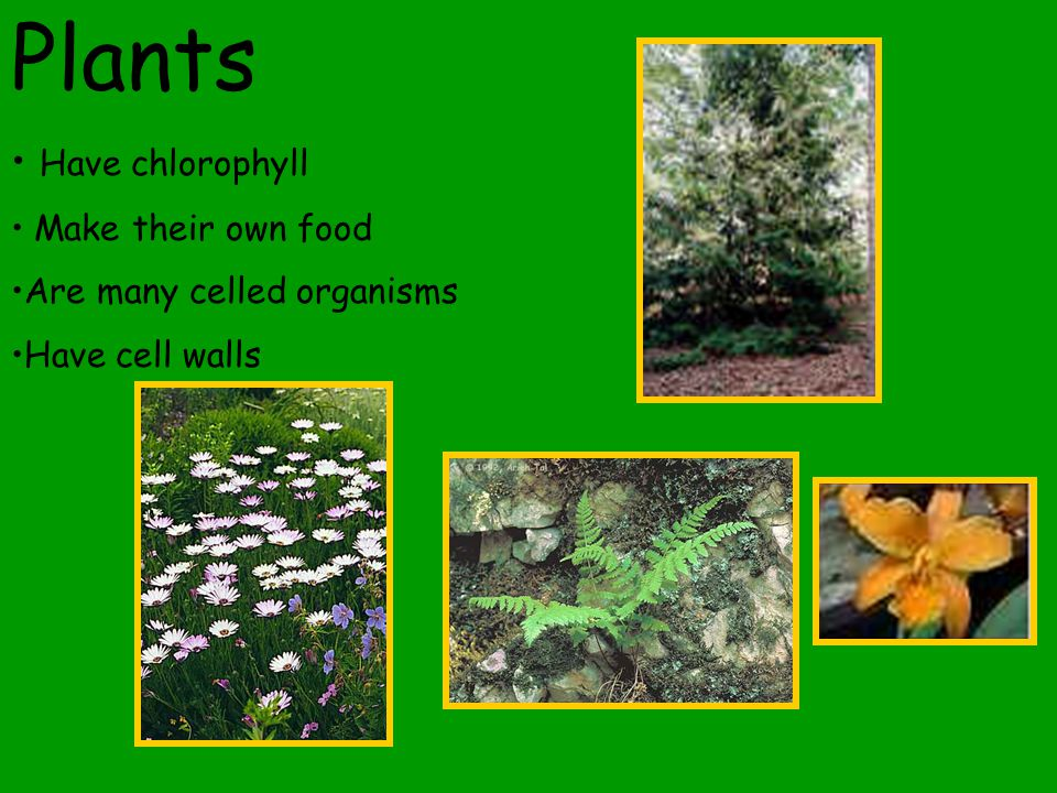 Plants Have chlorophyll Make their own food Are many celled organisms