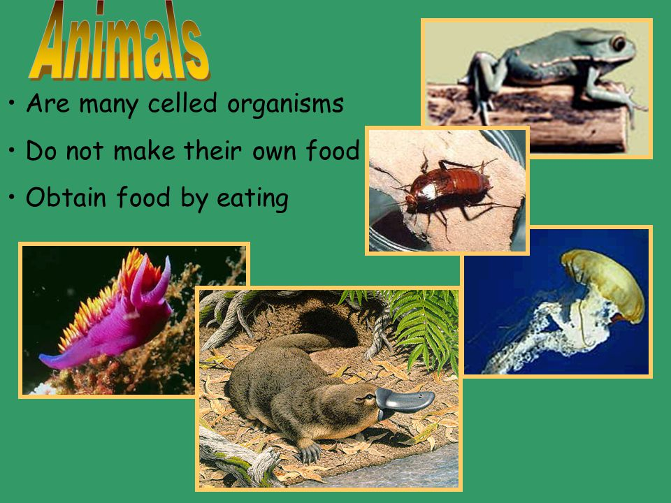 Animals Are many celled organisms Do not make their own food