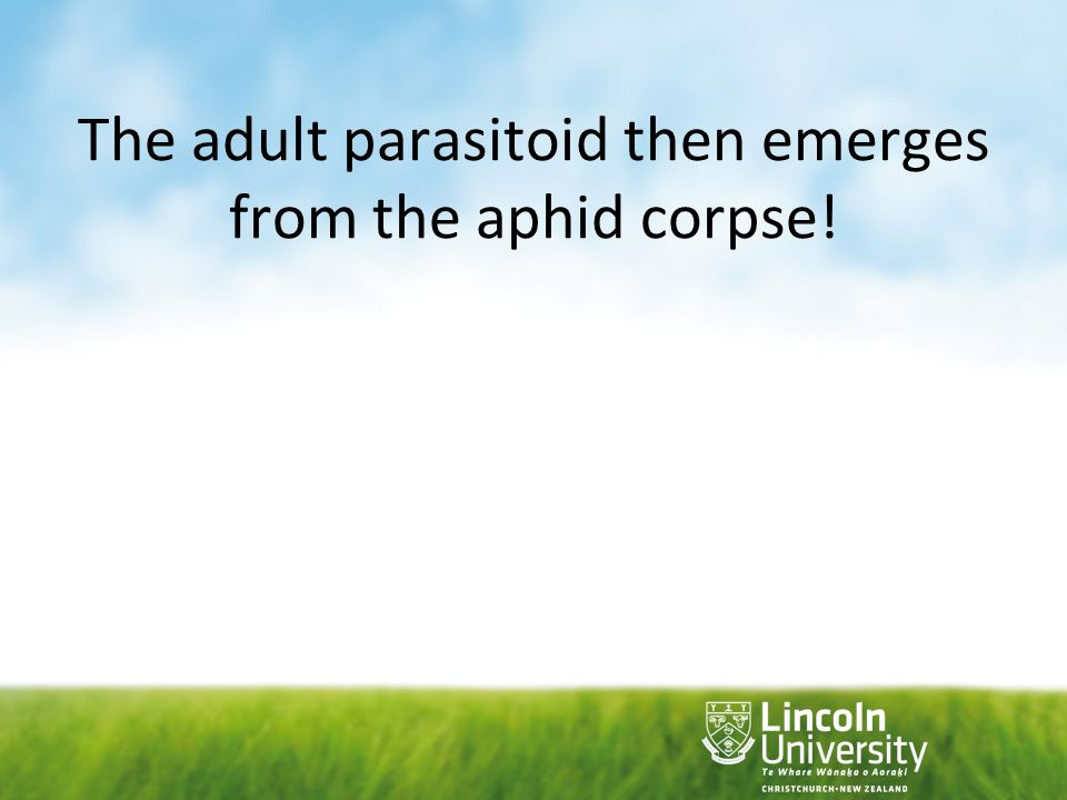 The adult parasitoid then emerges from the aphid corpse!