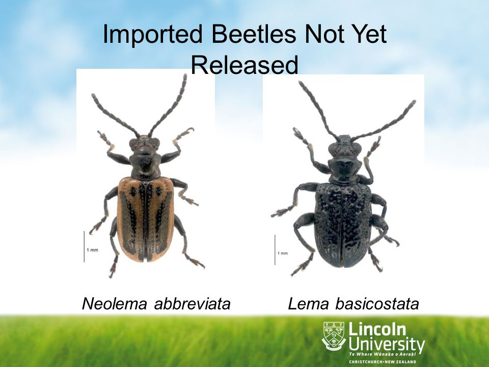 Imported Beetles Not Yet Released