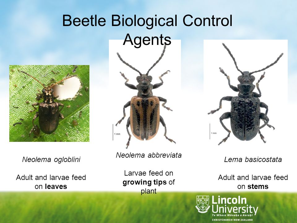 Beetle Biological Control Agents