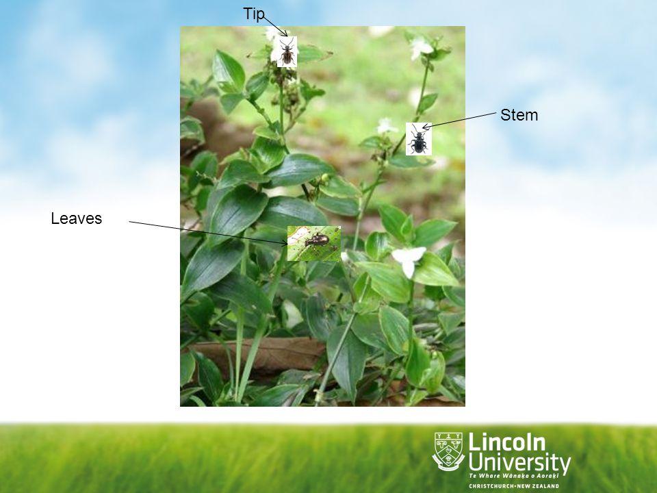 Tip Stem Leaves