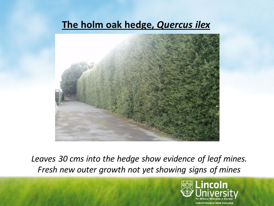 The holm oak hedge, Quercus ilex