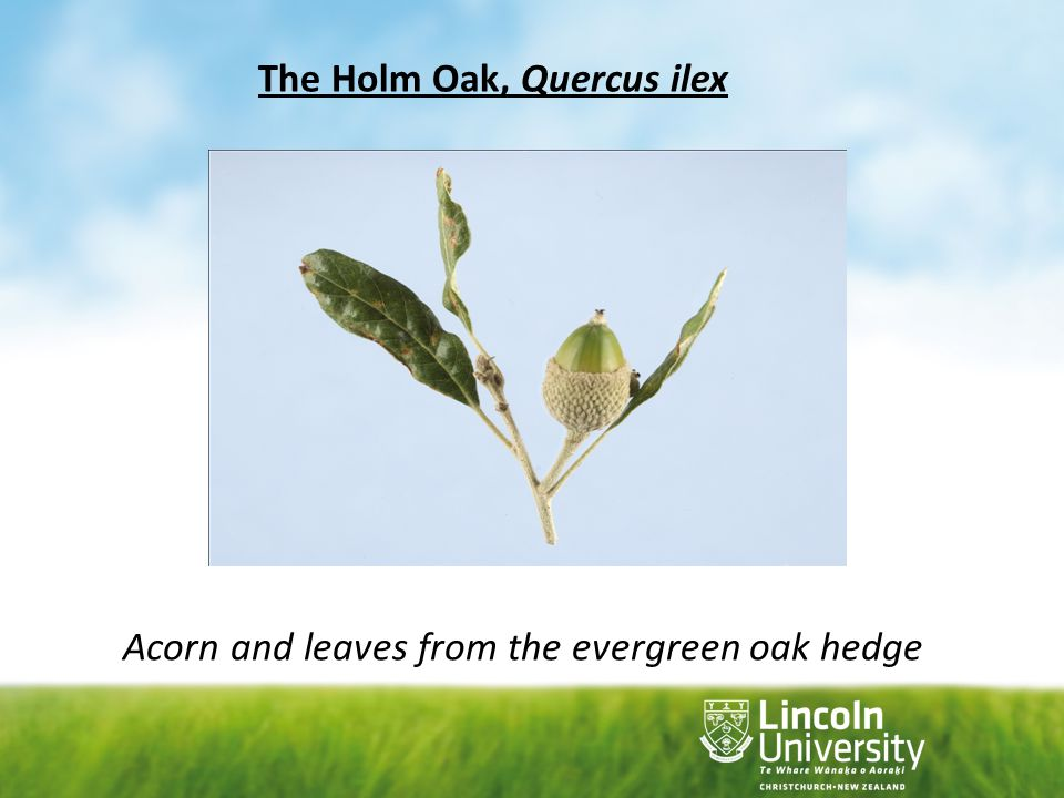Acorn and leaves from the evergreen oak hedge
