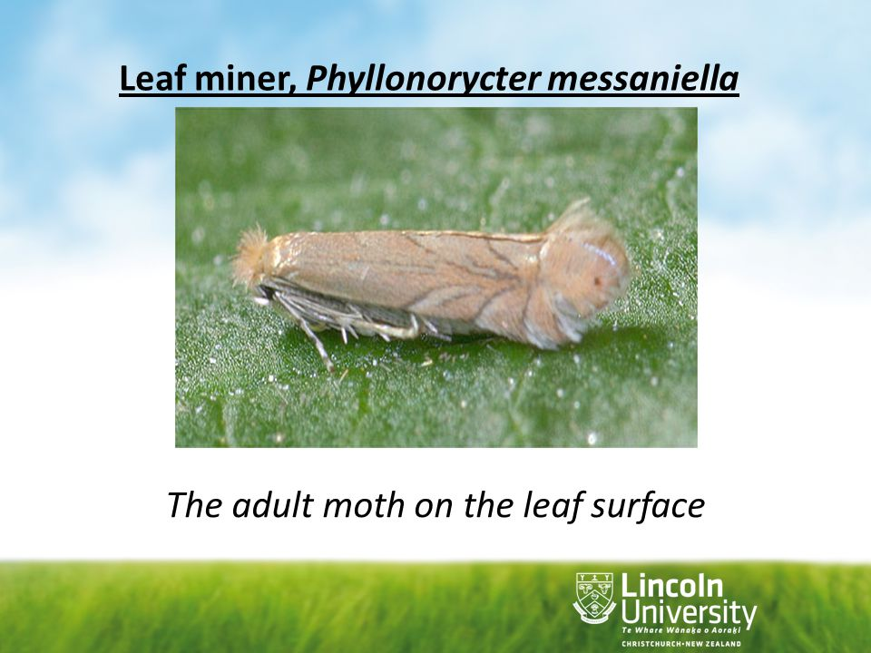 Leaf miner, Phyllonorycter messaniella