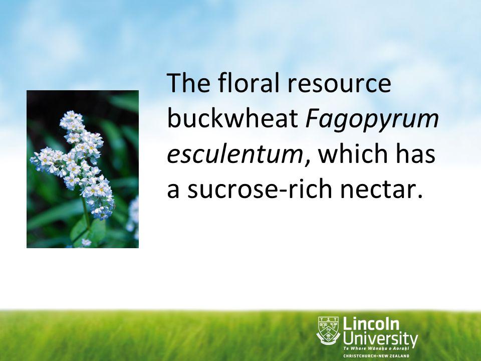 The floral resource buckwheat Fagopyrum esculentum, which has a sucrose-rich nectar.