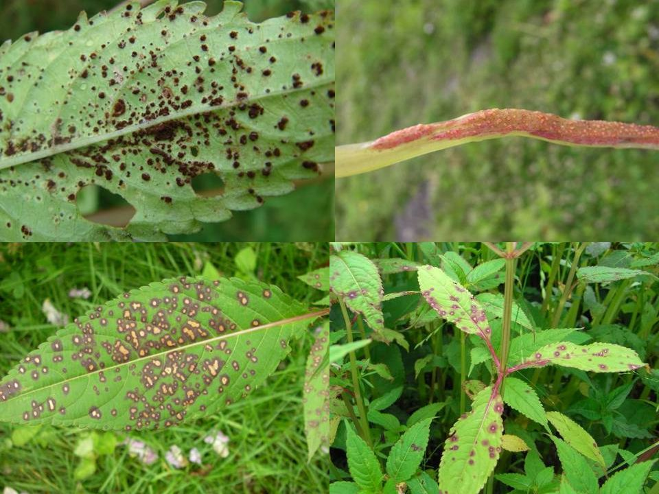And some highly promising pathogens especially a rust fungus which seems to hit the seedling and therefore key stage of the target plant