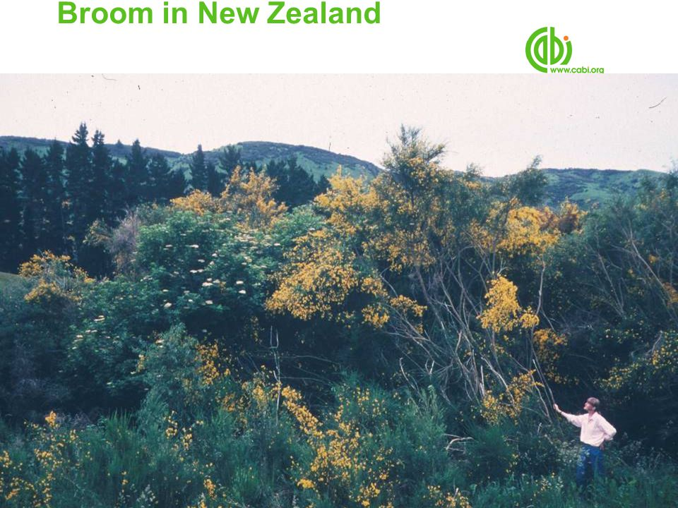 Broom in New Zealand