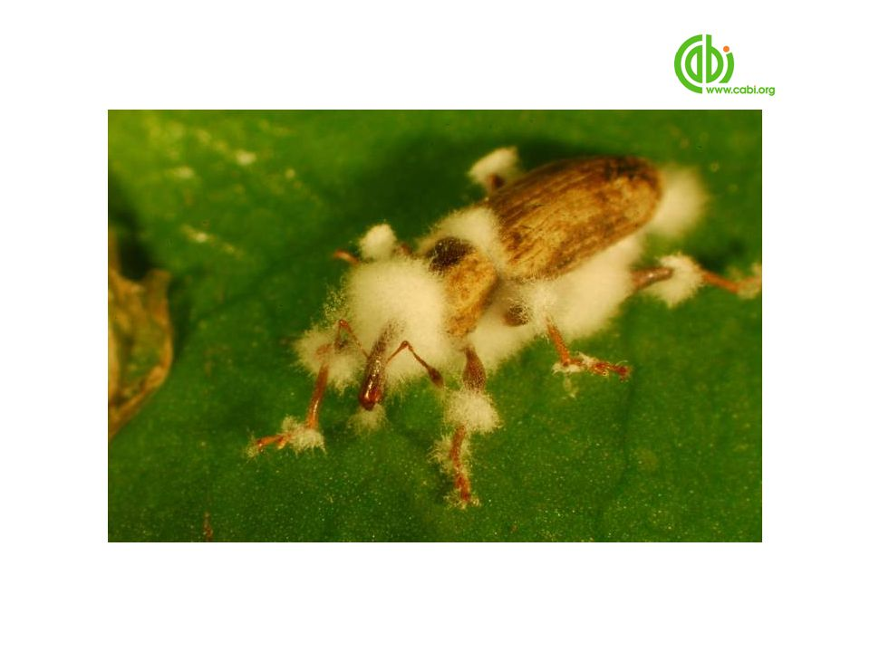 Though we nearly lost the culture to Beavaria, we managed to establish enough to carry out feeding, egg laying and development tests