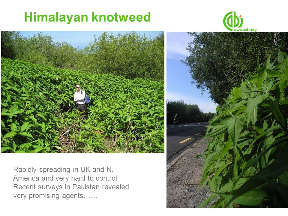 Himalayan knotweed Rapidly spreading in UK and N. America and very hard to control.