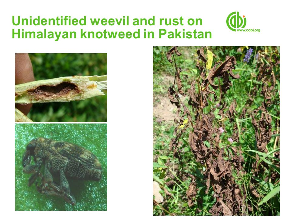 Unidentified weevil and rust on Himalayan knotweed in Pakistan