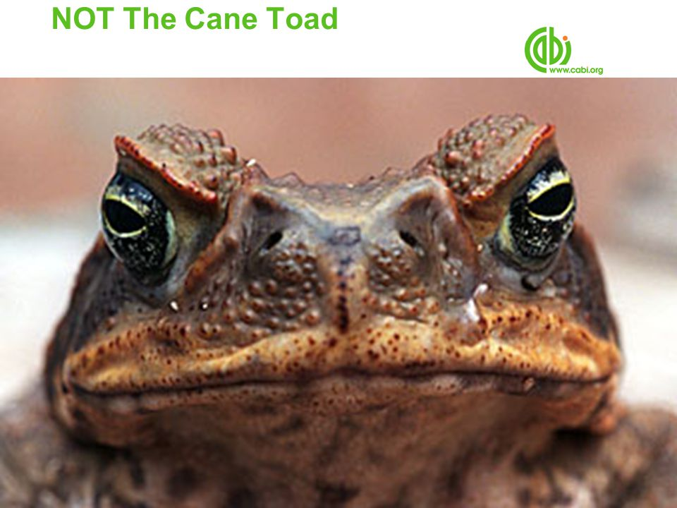 NOT The Cane Toad